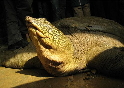 Bức ảnh chụp rùa Hoàn Kiếm (Rafetus swinhoei) được giải cứu sau vụ vỡ đập Đồng Mô, Hà Nội vào năm 2008. Ảnh: Timothy McCormack/ATP