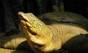 Trung Quốc đề xuất hợp tác nhân giống rùa Hoàn Kiếm