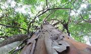 Tìm thấy hoạt chất diệt tế bào ung thư mạnh từ cây rừng Tây Nguyên