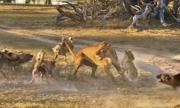 Sư tử mẹ hứng đòn của đàn chó hoang để giúp con chạy trốn
