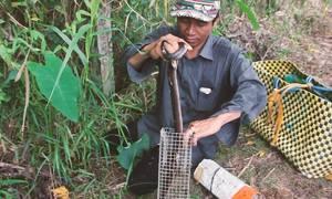 Nông dân miền Tây lội vào bụi rậm bẫy rắn hổ hành