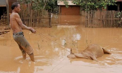 Một người dân Lào kéo xác con bò ngập trong nước lũ hôm 26/7. Ảnh: AFP.