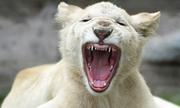 Sư tử đột biến lông trắng ở sở thú Peru