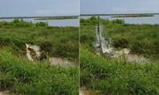 Cá sấu mõm ngắn quăng quật đồng loại trên mặt nước