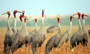 Trữ nước quanh năm, sếu đầu đỏ về Tràm Chim giảm 100 lần