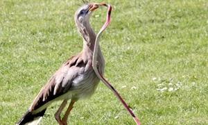 Loài chim duy nhất giẫm chết rắn để ăn thịt