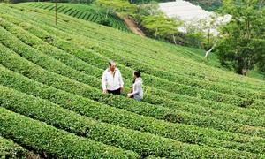 Vùng trà cổ 91 năm tuổi tại Lâm Đồng
