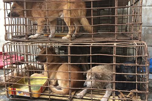 Tang vật là chín con chó thu giữ tại nhà bà Huệ. Ảnh: Hoàng Táo