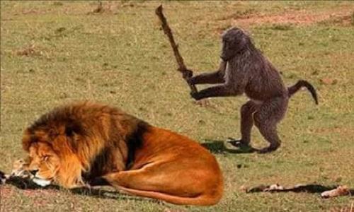 Con khỉ gan dạ nhất hành tinh.