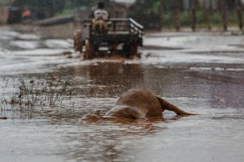 Xác một con bò ngập trong nước lũ ở huyện Sanamxay. Ảnh: Thành Nguyễn.