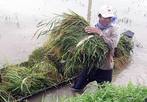 Người dân đầu nguồn miền Tây thu hoạch lúa non chạy lũ. Ảnh: An Phú.