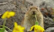 Loài thỏ chuyên trộm thức ăn của đồng loại