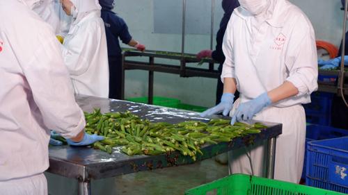 Sản phẩm đậu bắp tại nhà máy chế biến. Ảnh: Hương Giang