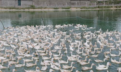 Một trang trại vịt tại huyện Yên Thành (Nghệ An). Ảnh: Nguyễn Hải.