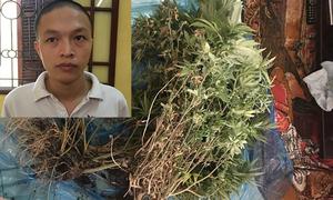Thanh niên trồng và chế biến cần sa ở chung cư Hà Nội
