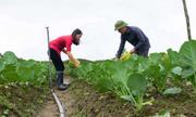 Bát Xát cung ứng cho thị trường 900 tấn bắp cải suốt 4 mùa