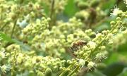 Nông dân miền Tây nuôi hơn 250 đàn ong để trồng nhãn sạch