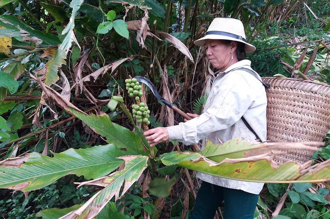 Người dân miền núi Nghệ An nhộn nhịp thu hoạch bo bo