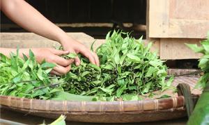 Đặc sản rau lủi không cần chăm bón của vùng đất Nam Trà My