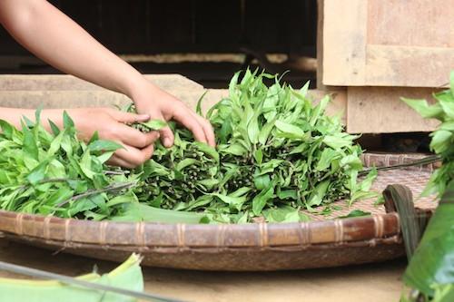 Rau lủi được trồng quanh năm trên rẫy cao. Ảnh: Xuân Chinh