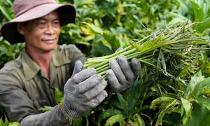 Trồng rau móp thu 20 triệu đồng mỗi tháng ở Sài Gòn