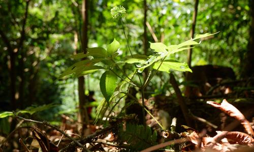 Người Quảng Nam trồng sâm kết hợp bảo vệ rừng