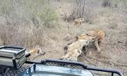 Sư tử trơ mắt dâng xác lợn rừng cho bầy linh cẩu
