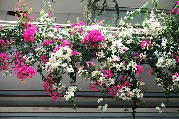 Ngôi nhà 3 tầng phủ đầy hoa giấy ở Quảng Ngãi