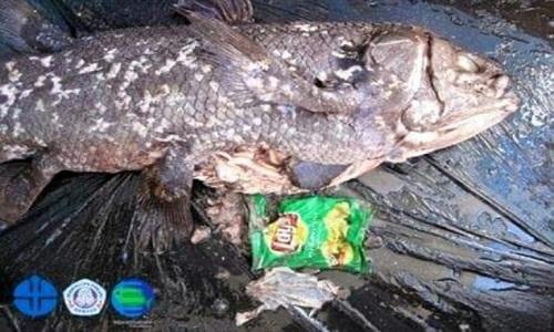 Con cá vây tay chết với túi nhựatrong bụng. Ảnh: Twitter.