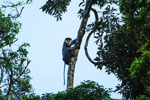 Một cá thể voọc chà vá chân nâu đang đi kiểm thức ăn ở núi Hòn Dồ. Ảnh: Đắc Thành.