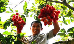 Giá chôm chôm tăng, nông dân thu nhập 200 triệu đồng mỗi mùa