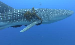 Giải cứu cá mập voi bị dây thừng gần 70 kg quấn cổ