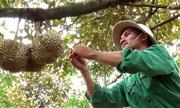 Nhà vườn Đồng Nai ồ ạt trồng sầu riêng, giá hạt tăng cao