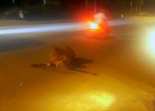 Con bò bị ô tô 5 chỗ tông chết. Ảnh:Đ.H
