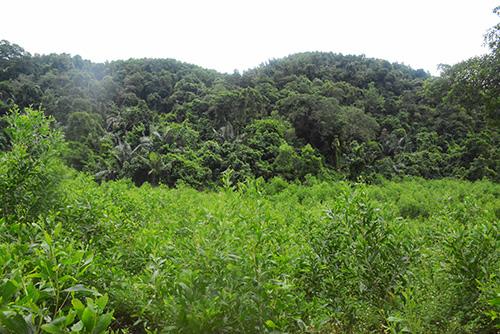 Rừng keo người dân trồng quanh núi khiến nguồn thức ăn cho voọc bị khan hiếm. Ảnh:Đắc Thành.