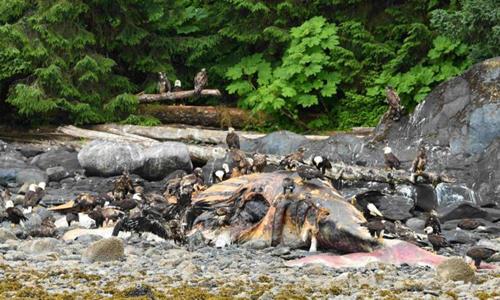 Cá voi chết dạt vào bờ biển ở Alaska.Ảnh: Sun.