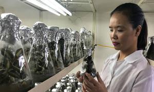Khoa học Việt tìm ra quy trình trồng lan quý hỗ trợ điều trị ung thư