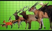 So sánh kích thước các loài hươu, nai và linh dương