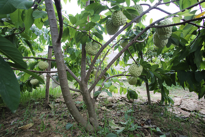 Гигантские сахарные яблока в Ланг-Соне (ФОТО)