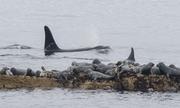 60 con hải cẩu chen chúc trên tảng đá trốn cá voi