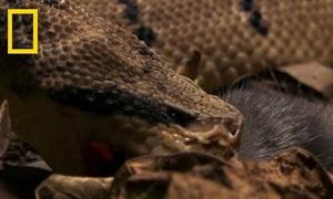 Rắn chúa bụi - sát thủ săn mồi trong rừng rậm Amazon
