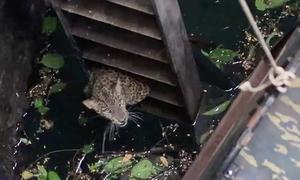 Giải cứu báo con rơi xuống giếng sâu 12 mét