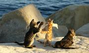 Đảo quốc nào có số mèo vượt quá số dân?