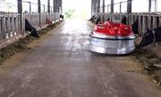 Robot lùa cỏ tự động trong trang trại bò sữa Việt Nam