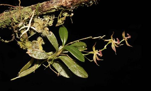 Loài phong lan mới được phát hiện ở Peru. Ảnh: AFP.