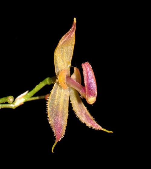 Hoa của câyAndinia tingomariana. Ảnh: AFP.