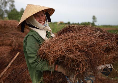 Lá thông khô được người dân gom đưa ra đồng. Ảnh: Hải Bình.