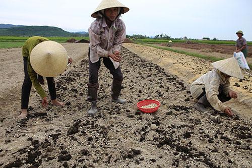 Đầu tháng 8 dương lịch là lúc người dân gieo hành. Ảnh: Hải Bình.