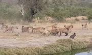 Linh cẩu cậy đông đuổi sư tử để cướp xác trâu