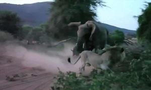 Tấn công voi con, sư tử bị voi mẹ đuổi chạy thục mạng